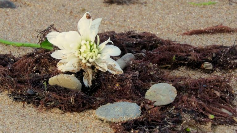 Nezinu no kurienes, bet bangainie viļni krastā izskalojuši mārtiņrozes ziedu.