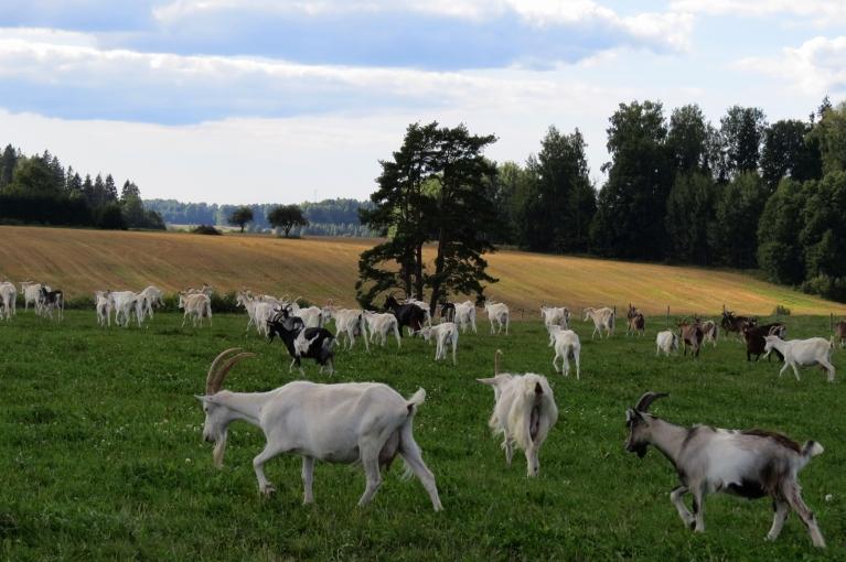 24. augusts - jūlija beigu un augusta nokrišņi ir izlabojuši ganību stāvokli.