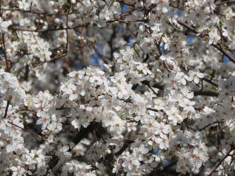 Aprīlis - balto ziedu pārpilnība