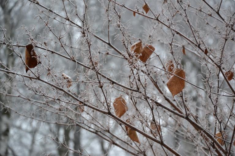 Kādam krūmam vēl palikušas rudenīgās lapas, bet zari - ar sarmu apklāti.