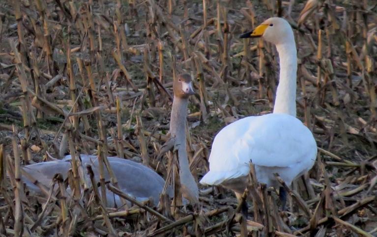 Starp baltajiem putniem manāms arī pa kādam pelēcīgam jaunulim.