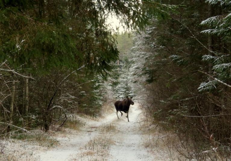 Uz meža stigas sastopos ar alni :).