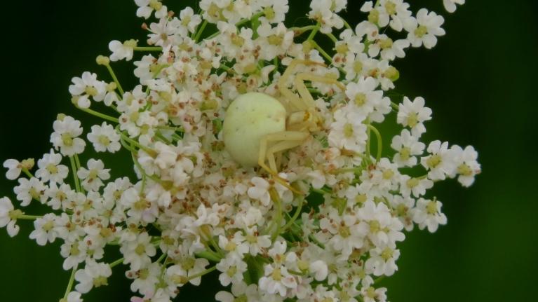 Baltajā ziedā nomaskējies balts zirneklītis.