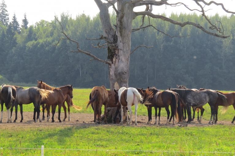 Jūlija pirmā puse sausa un karsta, zirgi meklē ēnu pat pie nokaltuša ozola.