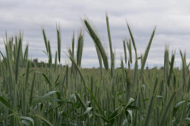 Zemnieki, kuriem ziemāji neizsala, priecājas par leknajiem laukiem.