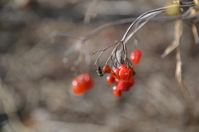Bet citviet muša izmanto vēl no rudens palikušos labumus - šeit tās ir sarkanas odziņas.