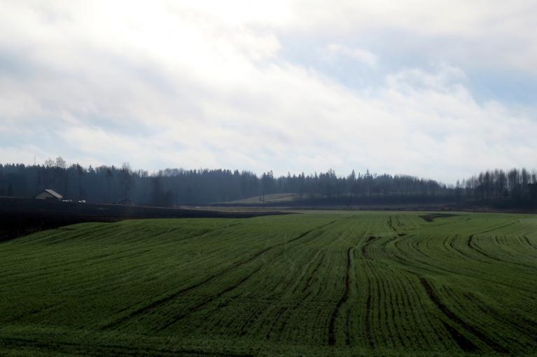 Acis priecē zaļie ziemāju lauki.