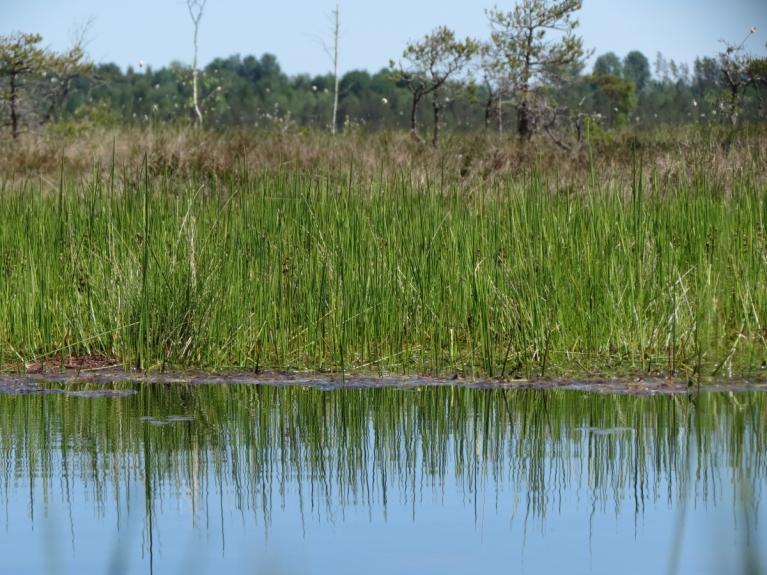 Un koši zaļo nokrāsu purva malās bērzu audzēs, kā arī ūdeņu tuvumā