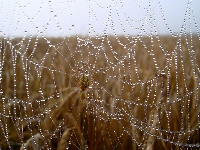 Zirnekļu tīklos redzamas rasas pērlītes.