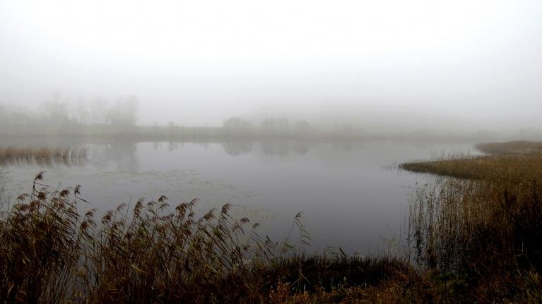 Uz vietējiem dīķiem viņi pārlido vakarpusē, agri no rīta viņi atkal ir kopā un dienas lielāko daļu viņi pavada lauka vidū.