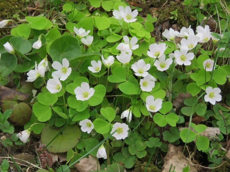Mežā skaisti zied zaķkāposti.