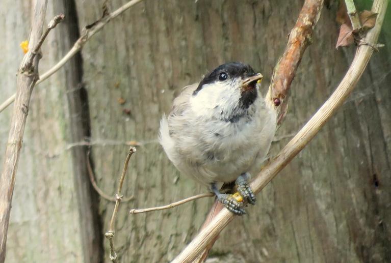 """""""Saldā mīla"""" izrādās ir arī garda, tā vismaz domā visi mana dārza sīkie putniņi."""