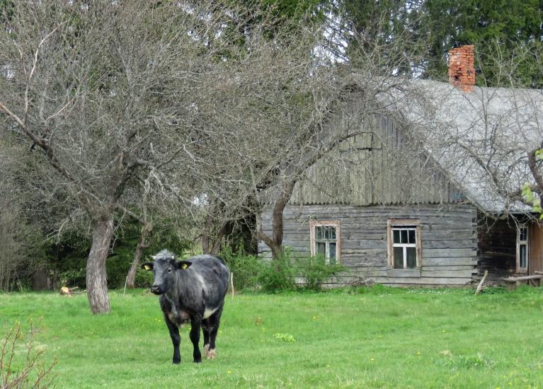 17. maijs, Mores pagasts. Govis šogad ar zāli netiek lutinātas...