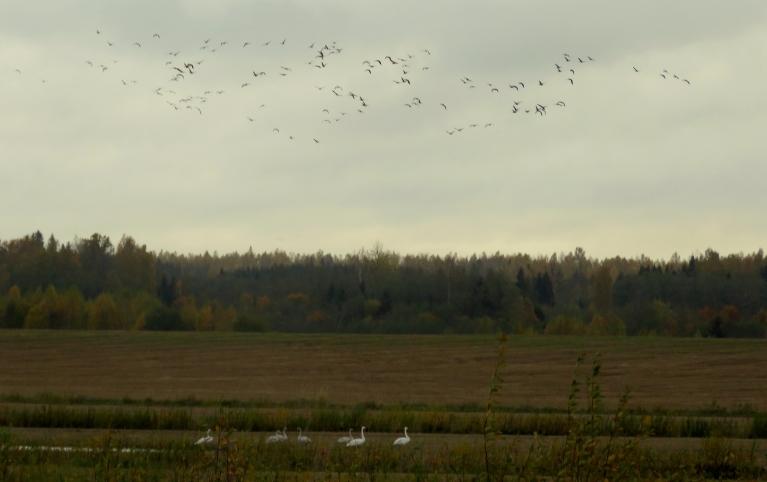 Tālajās pļavās atpūšas pārlidotāji, zosis ir tramīgas, spārnos ceļas pie mazākām aizdomām.