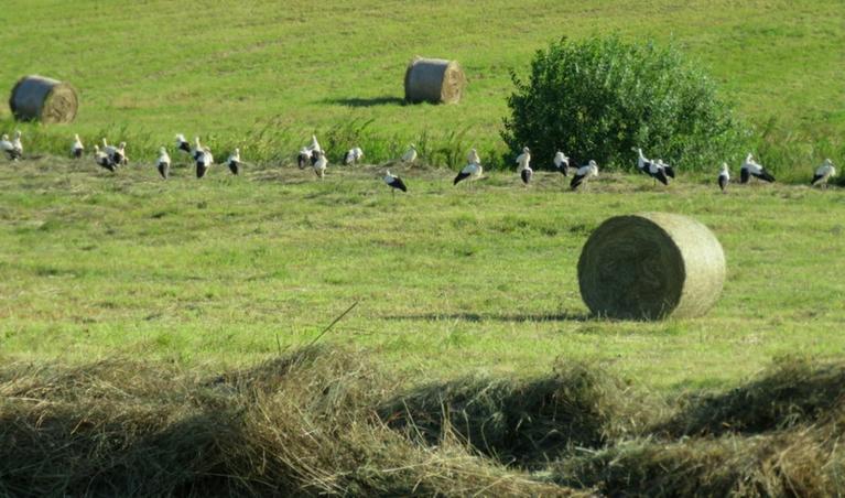 9. augusts, stārķi sāk vākties lielos baros.