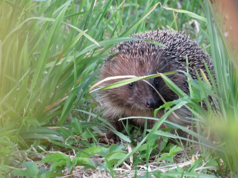 Vakarā t strauji krīt, skaidrs, ka nakts būs ar salnu. Dārza stūrī satieku ežuku, kas ātri dodas savās gaitās.