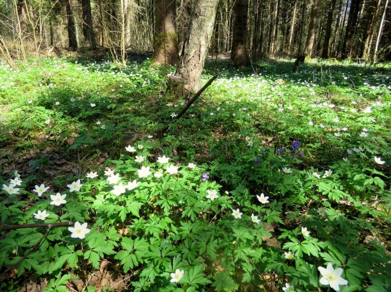 Dienas kā radītas, lai baudītu meža skaistumu.