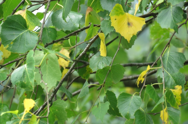 9. jūlijs, bērzam sāk dzeltēt lapas.