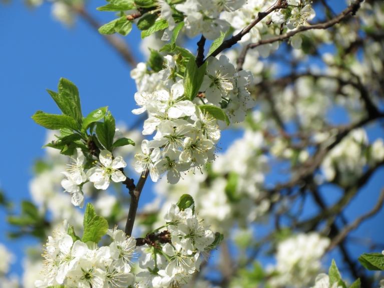 Vēl krāšņāki ir balti košie plūmju ziedi