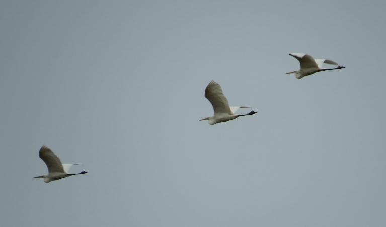 Kamēr lūkojos pēc dzērvēm, pāri pārlaidās 3 lielie, baltie gārņi.