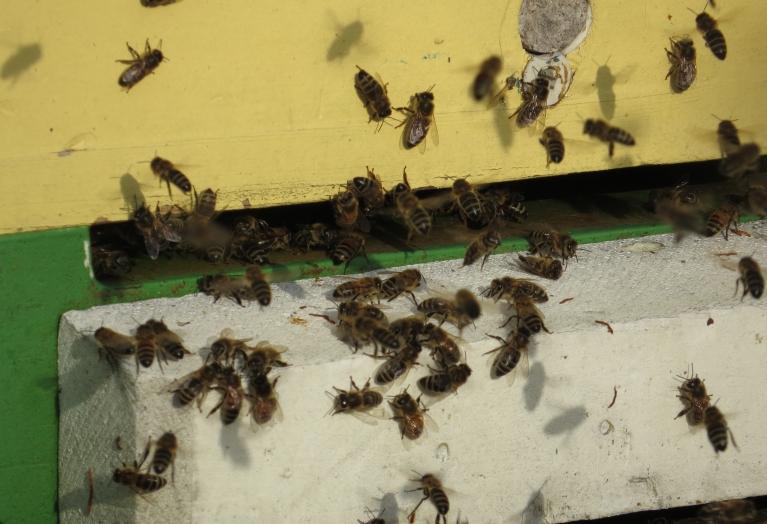 4. marts - marta pagaidām siltākā diena, bites izmantoja saulaino brīdi, lai izlidotu no stropa iztīrīt vēderiņus.