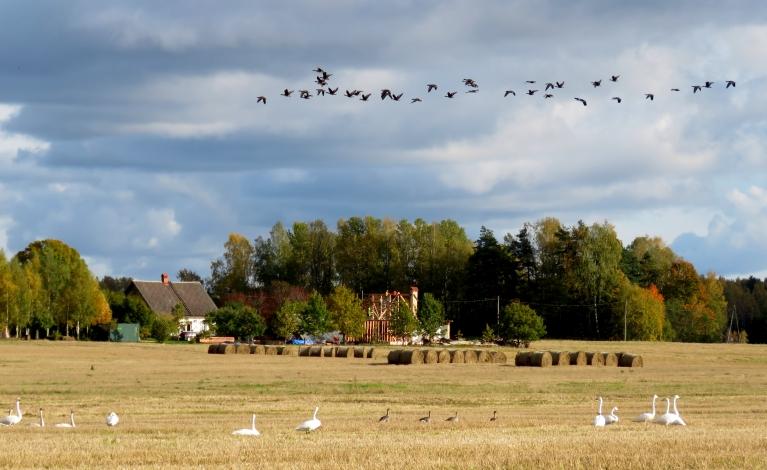 Nokultajos labības laukos pirms tālā ceļa atpūšas putni.
