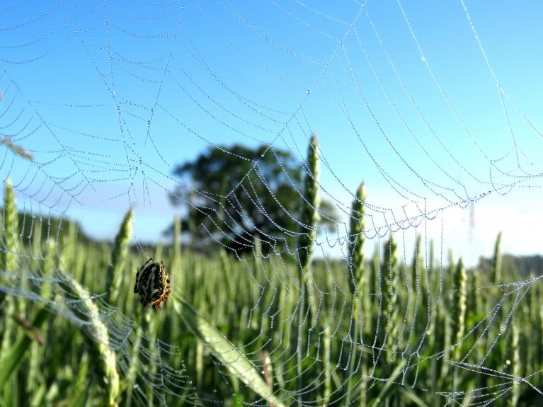 Zirneklīši  saauduši smalkus tīklus.