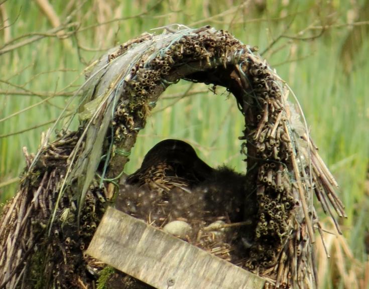 Meža pīļu mamma nosēdusies uz perēšanu.