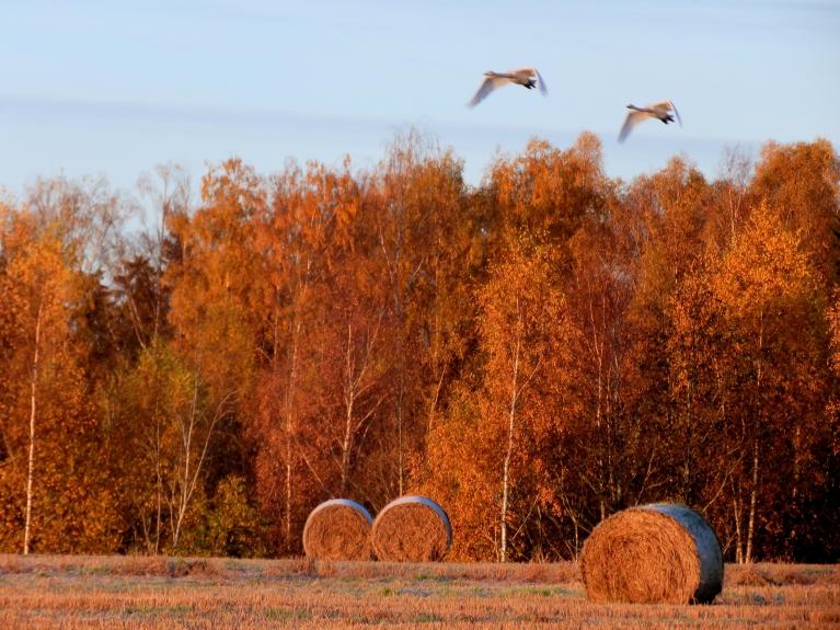 Grūti precīzi noteikt putnu skaitu, jo ik pa laikam kāds aizlido nostāk, bet citi atlido.