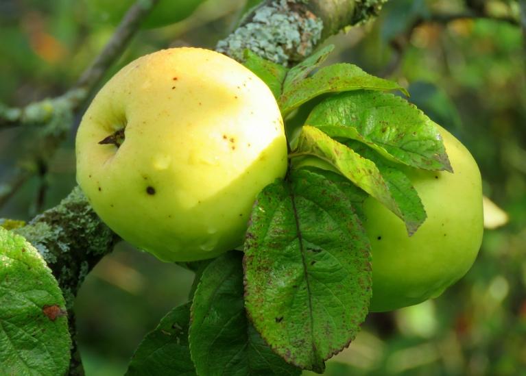 Dzidrie āboli jau tikpat kā noražojuši, briest ziemas šķirnes.