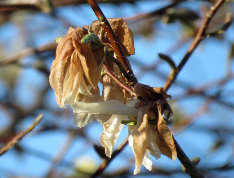 Tik bēdīgs 11.maijā izskatās kaimiņa krāšni ziedošais (pagātnē) Magnoliju koks (Allaži).