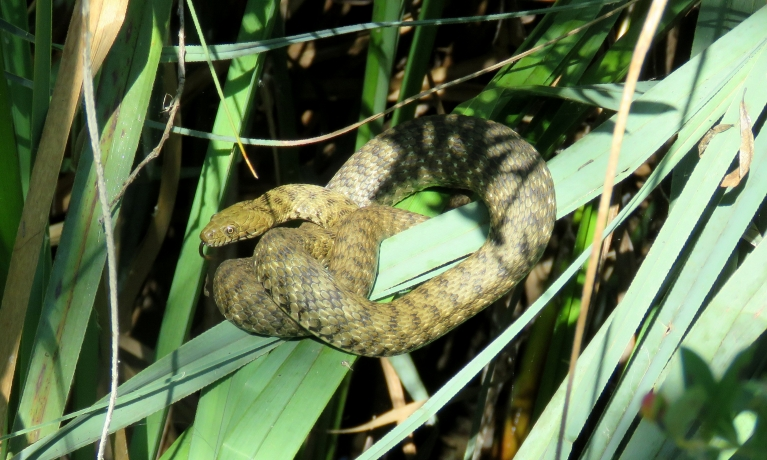Plitvices ezeru čūskiņa, kura pieradusi pie tūristiem.