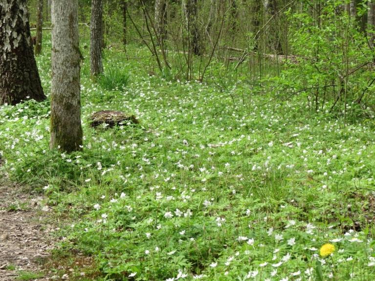 Brīžam debesis pelēkākas, taču meži ir ziedu un putnu balsu pilni