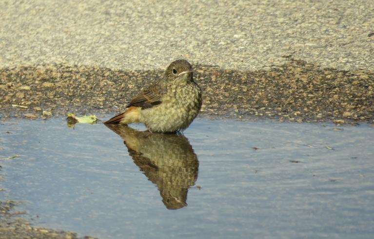 Peļķēs mazgājas jaunie putnēni.