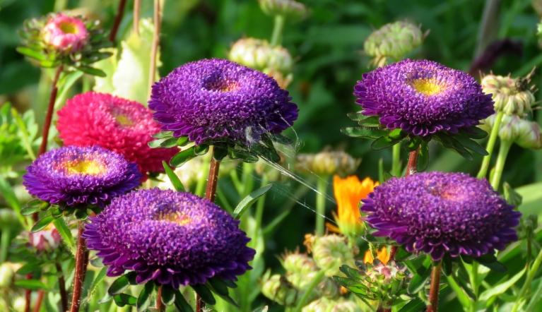 Visos dārzos šodien rosība - ziedi ceļo uz lielākiem vai mazākiem pušķiem rītdienas Zinību dienai.