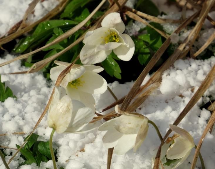 Tuvāk aplūkojot var redzēt, ka līdztekus sniegam ir arī krusas graudi.