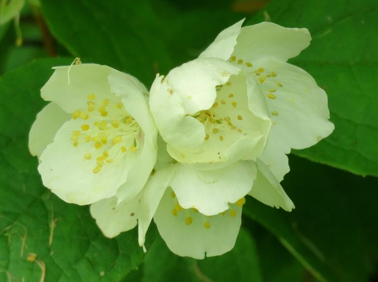 30. jūlijs, vēlajam jasmīnam  pēdējie ziedi vēl nav nobiruši.