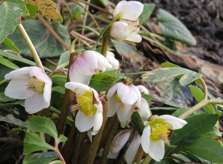 Kaimiņu dārzā skaisti zied sniega roze, manējā tikai vēl degunu knapi ārā pabāzusi.