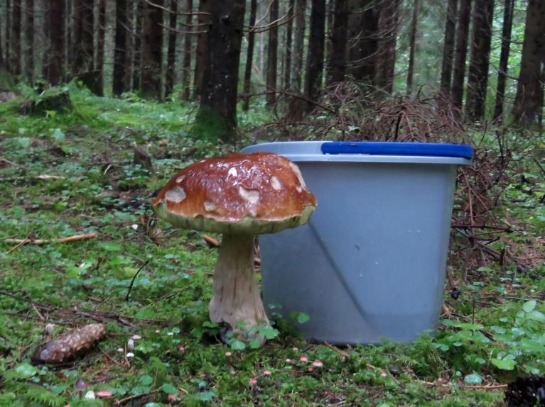 Meži paliek arvien slapjāki, sēnes- arvien garākas. Šī baravika aizņēma pusspaini, kārtīga sēņu mērce vakariņām nodrošināta!