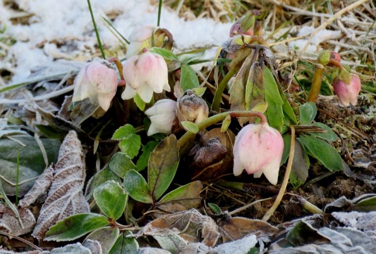Arī ziedošas puķes mūsu platuma grādos Vecgada vakarā nav nekas īpašs. Sniega rozes pilnā plaukumā.