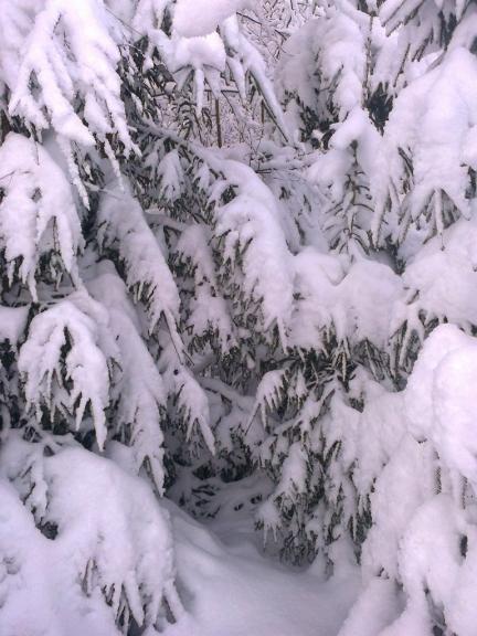 Autors:Emilis. Saule un sniegs Rankā, 8.12. Iespējams, skaistākā ziema šajā gadsimtā. :) Paradīzes vārti jeb piesniguši egļu zari kādā mežmalā. Sniega segas biezums vidēji 30 - 35 cm.