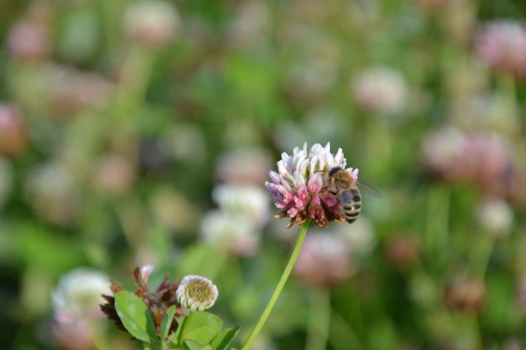 Āboliņa pļavā zum bites.