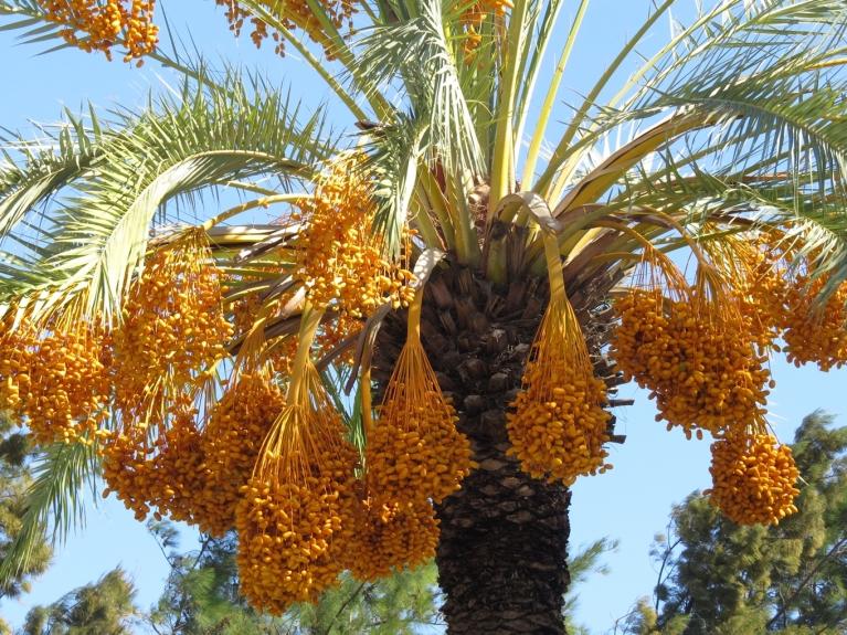 Vidusjūras piekraste mani sagaidīja ar +30 grādu karstumu un palmu augļu krāsainību.