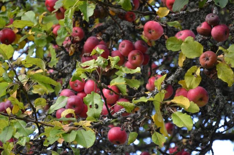 """Brāļu Kaudzīšu memoriālajā muzejā """"Kalna Kaibēni"""" uzmanību piesaista ne tikai ekspozīcija, bet arī bagātā ābolu raža ābeļdārzā."""