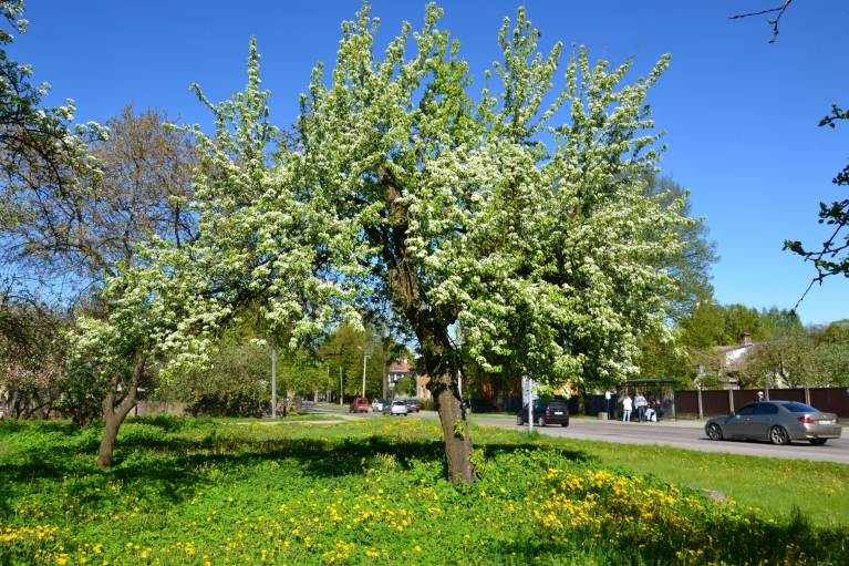 Zied arī bumbieres, un arī ābelēm raisās pirmie ziedi.