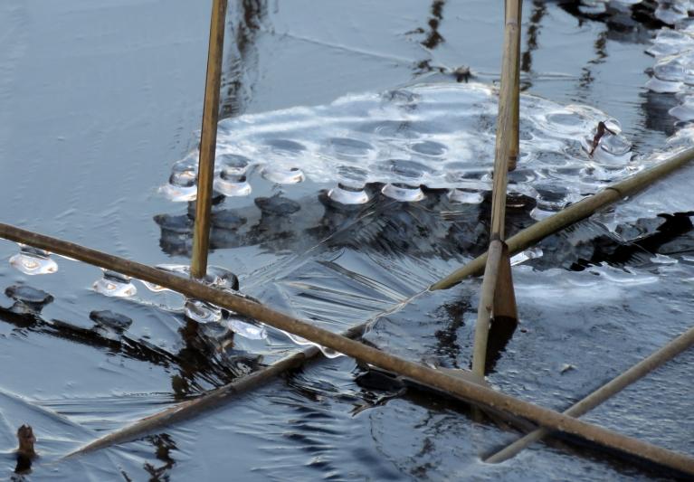 Krastā pie niedrēm interesanti ledus veidojumi.