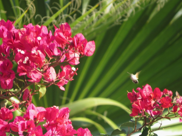 Tas mazais lidonītis attēla labajā pusē virs zieda nav vis muša vai tauriņš, bet kolibrī.