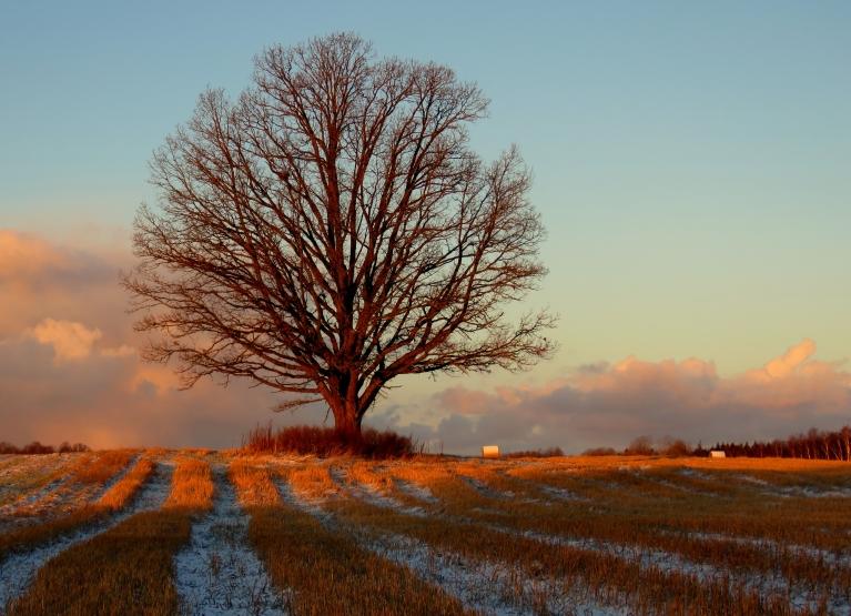 Saules stari apspīd ozolu, sniega mākoņi joprojām drūzmējas rietumu malā.