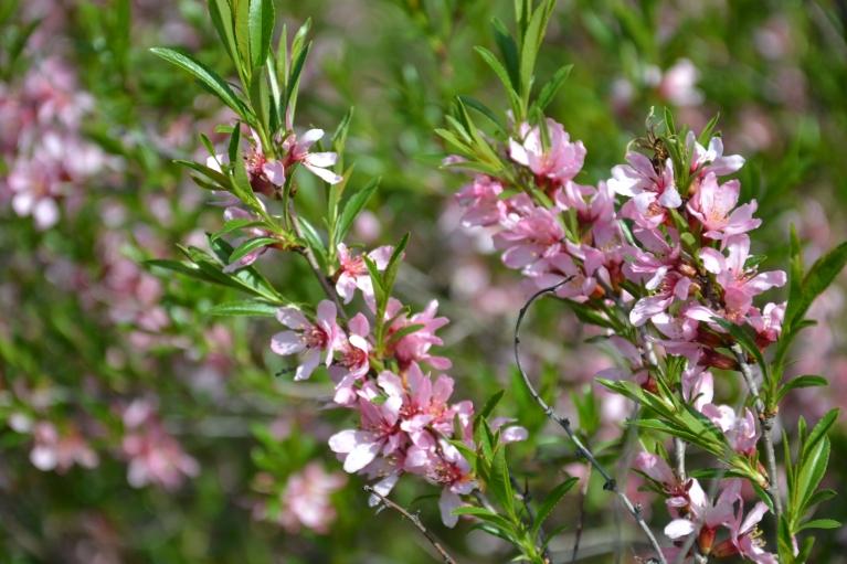 Dienu vēlāk kādā pagalmā ieraugu augu piemīlīgi rozā ziediem, kura lapas atgādināja smiltsērkšķus, bet, kā izrādījās, ziedi nepieder smiltsērķšķim, bet kādam citam augam (man nav ne jausmas, kas tas varētu būt).