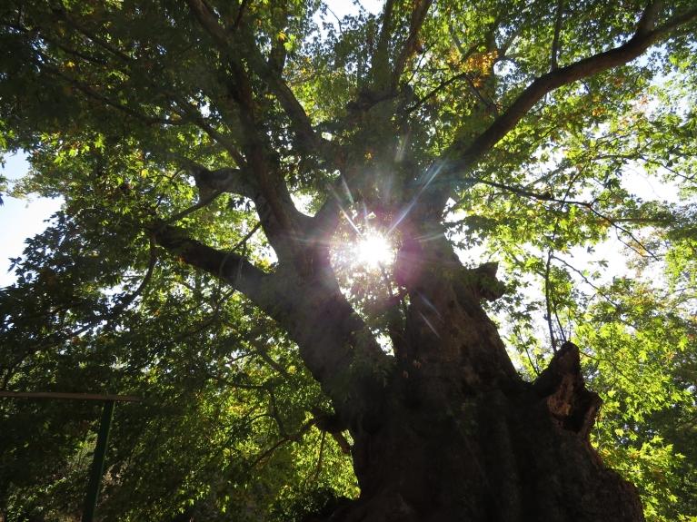 Ja var ticēt gida stāstījumam, šis ir 2 tūkstošus gadu vecs koks.